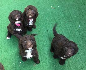 *** VERY RARE *** HYPOALLERGENIC*** Spanish Water Dog / Irish Water Spaniel Cross Pups / Puppies