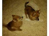 Two beautiful female Pomeranian pups