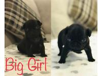 Gorgeous litter of Fully KC Reg Pug Puppies. Both parents available to view! Ready to go 27th Oct.