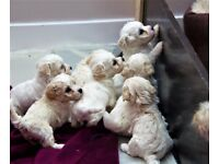 puppies bichon-frise cross!