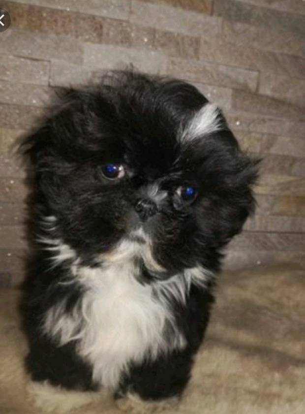 Beroemd Mini shih tzu puppy girl available | in Chichester, West Sussex &ZP98