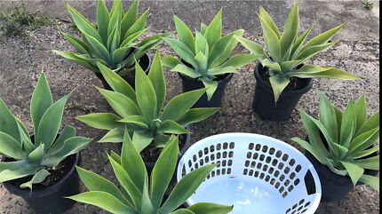 Agave plants, 4 x LARGE size (in 300mm pots, with roots), Syd delivery