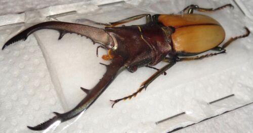 TOP RARITY Lucanidae Cyclommatus montanellus 63mm Borneo Stag Beetle Lucanus