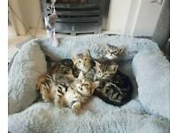 Lovely Tabby Kittens Ready Now