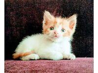Persian kittens in London | Cats & Kittens for Sale - Gumtree