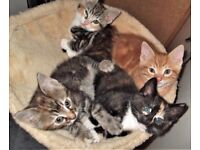 8 weeks Adorable,cute'n'crazy.1xGinger,1xGrey Tabbys 2xTorti/Calicos. Very friendly.