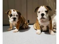 English Bulldog Puppies - Only 3 Girls left