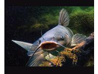 A lovely catfish