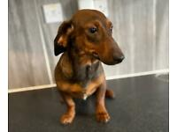 Sable dachshund 8 months old