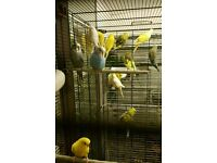 HIGH & STRONG QUALITY Budgies [£15/£20 EACH] For Sale + Cage From £20