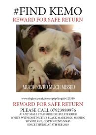 Staffordshire Bull Terrier Stolen from Bedfordshire 8th Feb 2018