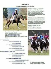 A Grade Polocrosse mare for sale ASH reg Jimboomba Logan Area Preview