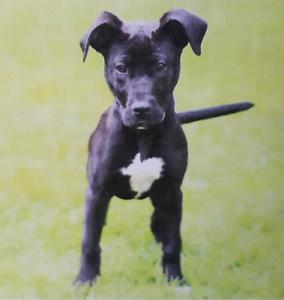 Labrador x Staffy Puppy Sunshine West Brimbank Area Preview