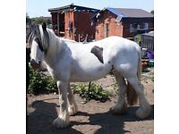Lead rein family pony for loan, experience required please