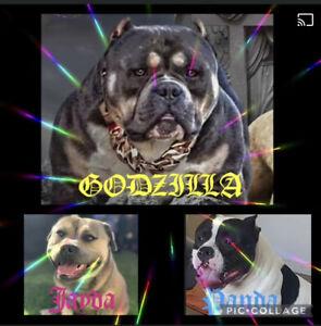 American 'Bully' Bulldog puppies