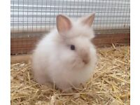 Lionhead Baby Rabbits For Rehoming