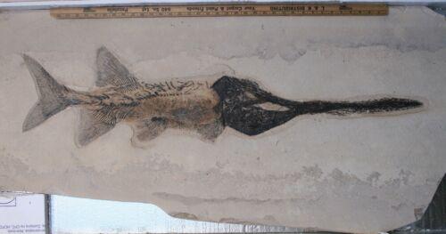 Rare Paddlefish Crossopholis Fossil Fish Green River Fm Wyoming WY COA