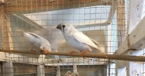 ZEBRA FINCHES, GOING CHEAP. $12 EACH