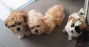 Maltese x Shihtzu Puppies Osborne Park Stirling Area Preview
