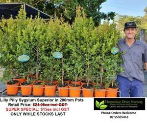 Lilly Pilly Superior Plants in 200mm Pots - Reduced to $15ea incl GST Mudgeeraba Gold Coast South Preview