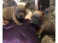 SOLID BLUE FRENCH BULLDOG PUPPIES READY NOW