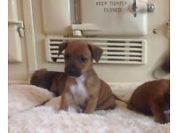 Beautiful smooth haired mini dachshund pups for sale