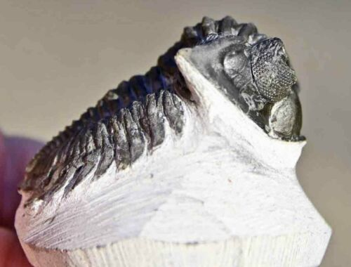 Museum Quality Trilobite Fossil, Coltraenia oufatenensis from Morocco #1