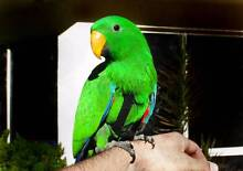 Hand Raised Baby Eclectus Parrot Hornsby Hornsby Area Preview