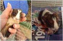 Guinea pigs. Putney Ryde Area Preview