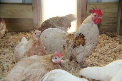 6 Red Pyle Phoenix Longtail Bantam Chicken Hatching Eggs. Fertile. Ships M-w