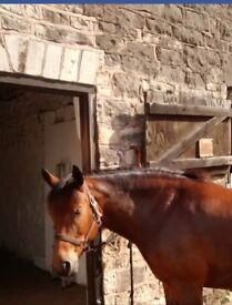 14.2hh New Forest Pony for Loan