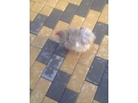 Egg laying chicken for sale