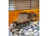 Male rats free to the right home
