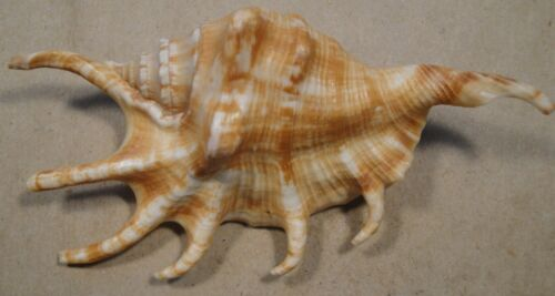 Lambis Crocata 107mm West Pacific