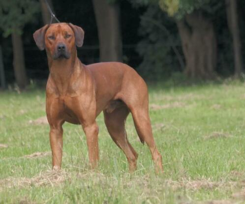 Dekreu Rhodesian Ridgeback Uitmuntend Gekeurd Honden Dekreuen Marktplaats Nl