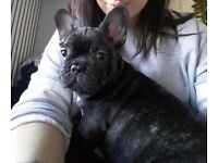 Male French bulldog 8 weeks old ready now