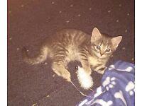 Grey tabby kitten female 8 weeks old