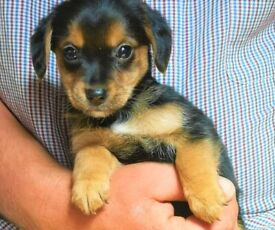 Adorable yorkie/chihuahua puppies