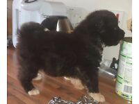 Long haired akita puppy - male