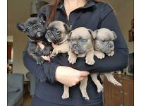 Beautifull frenchie pups