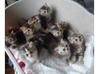 British Shorthair Kittens For Sale