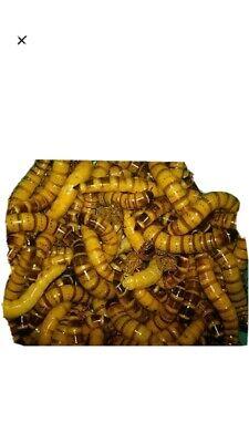 1000 LiveOrganic Superworms Large Free Shipping
