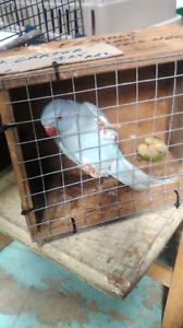 Lost Pale Blue Indian Ringneck Parrot female Clyde Casey Area Preview