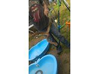 bredles python