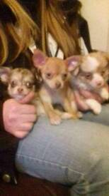 3 Beautiful Chihuahua puppies for sale, ready now.