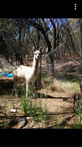 Cheap alpaca Clackline Northam Area Preview