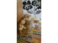 white and ginger female kitten for sale