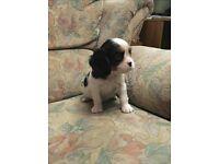 Cavalier king Charles pups