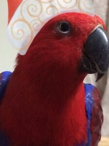 For sale Eclectus Parrot Southport Gold Coast City Preview