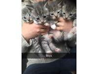 3 grey half british short hair kittens